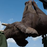 A male elephant is lowered onto a truck by the Kenyan Wildlife Service after being sedated on the edge of the Ol Pejeta conservancy in central Kenya on June 21  2013  Nine  rogue  elephants that have been destroying crops in the area will be translocated from the conservancy to the larger Kora National Reserve in order to ease the human-wildlife conflict over land  AFP PHOTO   PHIL MOORE