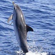 """El extraño caso de los delfines que """"caminan"""" con sus colas en Australia VIDEO"""